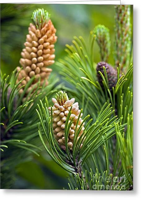 Pine Cones Greeting Cards - Pine (pinus Sp.) Greeting Card by Dr Keith Wheeler