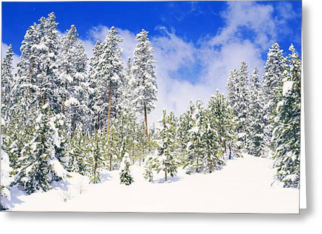Recently Sold -  - Snow Scene Landscape Greeting Cards - Pine Trees On A Snow Covered Hill Greeting Card by Panoramic Images