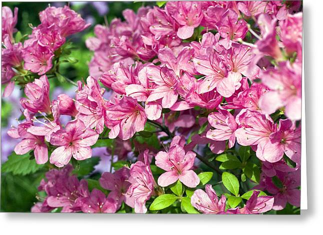 Rhododendrons Greeting Cards - Pink And Blue Rhododendron Greeting Card by Frank Tschakert