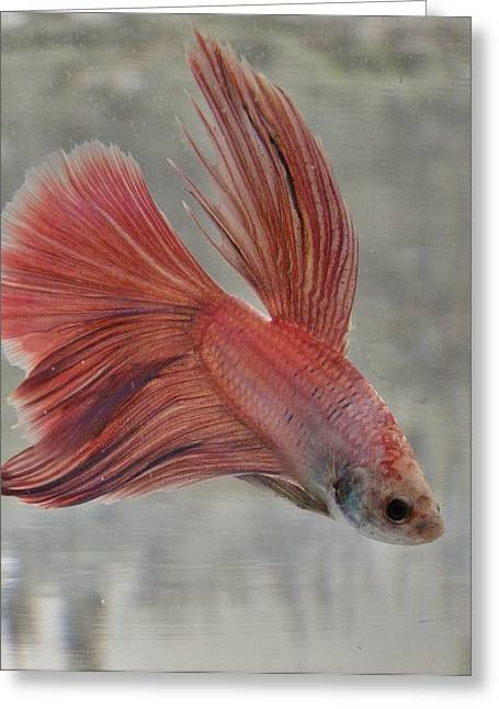 Betta Greeting Cards - Pink Betta Greeting Card by CL Redding