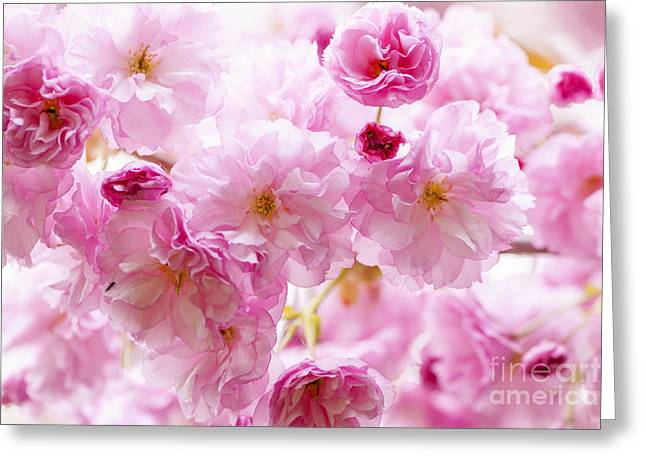 Flora Greeting Cards - Pink cherry blossoms  Greeting Card by Elena Elisseeva