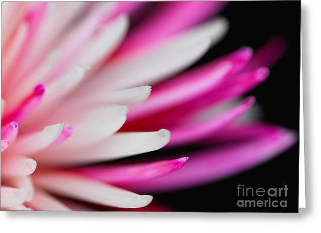 Isolated On Black Background Greeting Cards - Pink Chrysanthemum Flower Isolated on Black Background. Macro  Greeting Card by Laurent Lucuix