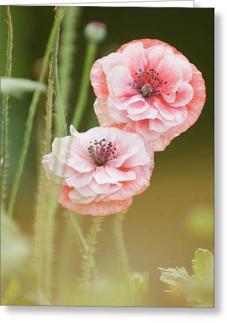 Pink Double Shirley Poppies Greeting Card by Maria Mosolova