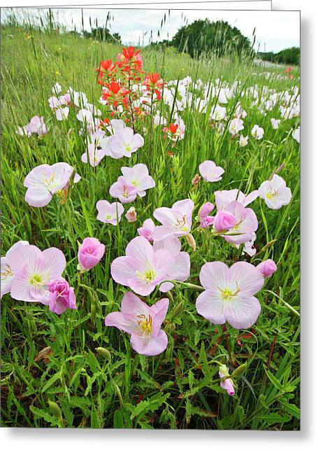 Pink Evening Primrose (oenothera Greeting Card by Larry Ditto
