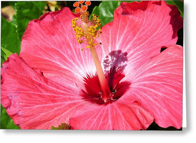 Hibiscus Greeting Cards - Pink hibiscus Greeting Card by Zina Stromberg