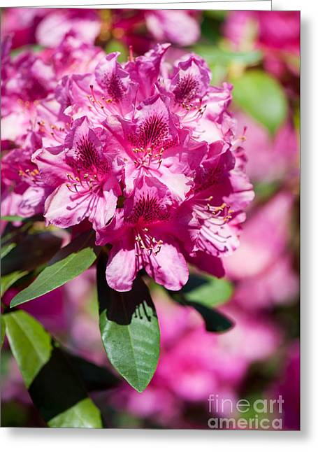 Abloom Greeting Cards - Rhododendron or Azalea bright pink flowers  Greeting Card by Arletta Cwalina