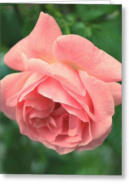 Pictures Of Oregon Greeting Cards - Pink Rose Greeting Card by Cathie Tyler