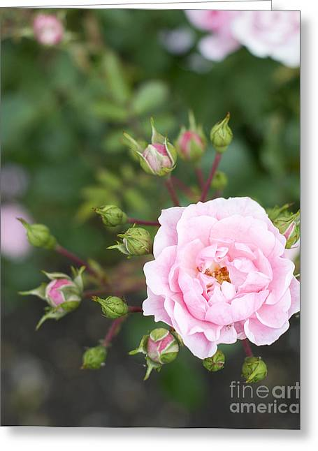 Greeting Cards - Pink rose Greeting Card by Ivy Ho