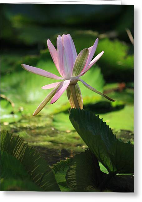 Lilly Pads Greeting Cards - Pink Water Lilly Greeting Card by Mandy Shupp