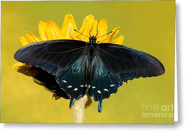 Duval County Greeting Cards - Pipevine Swallowtail Butterfly Greeting Card by Millard H. Sharp