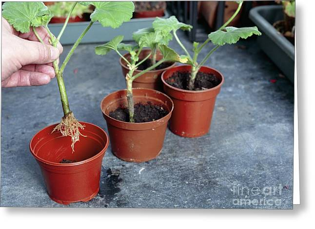 Asexual Greeting Cards - Planting Geranium Cuttings Greeting Card by Andrew Lambert Photography