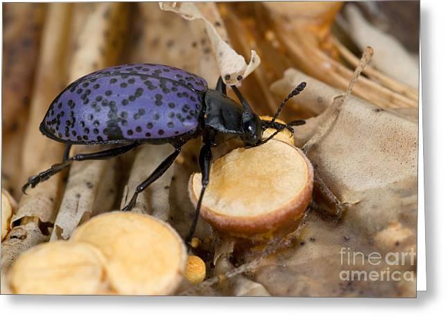 Pleasing Greeting Cards - Pleasing Fungus Beetle Greeting Card by Stuart Wilson