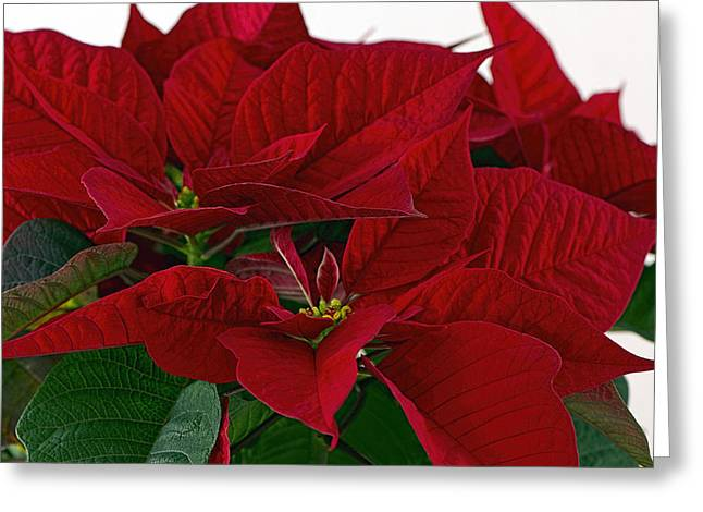 Star Of Bethlehem Greeting Cards -  Classic Poinsettia 3 Greeting Card by Sharon  Talson