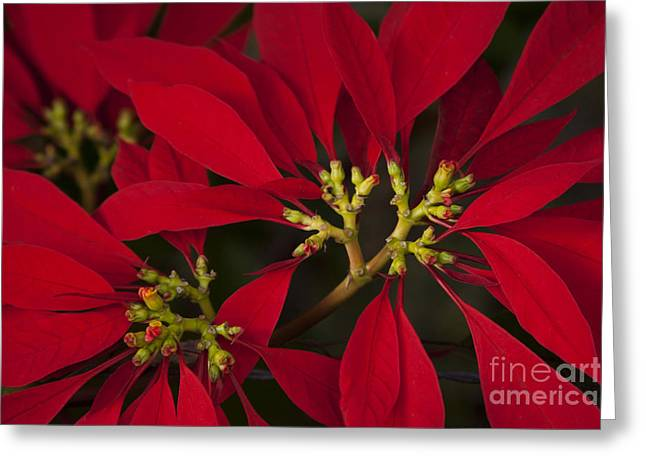 Euphorbiaceae Greeting Cards - Poinsettia  - Euphorbia pulcherrima Greeting Card by Sharon Mau