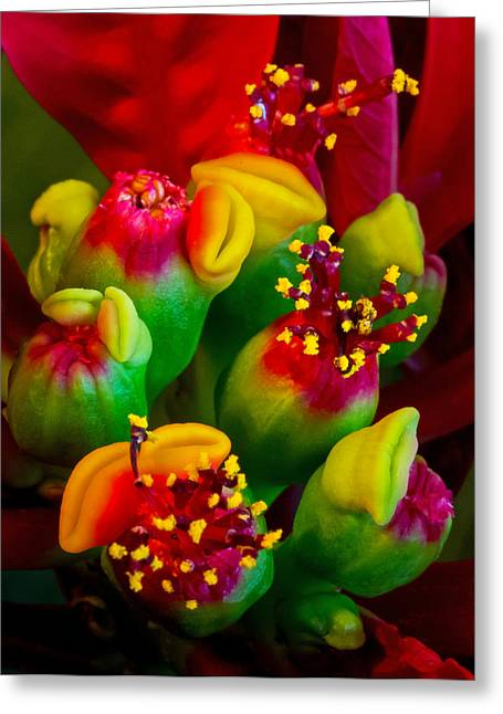 Dave Bosse Greeting Cards - Poinsettia Flowers Greeting Card by Dave Bosse