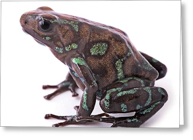Morph Greeting Cards - poison arrow frog Panama Greeting Card by Dirk Ercken