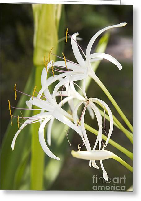 Biology Greeting Cards - Poison Bulb Crinum Asiaticum Greeting Card by Sheila Terry
