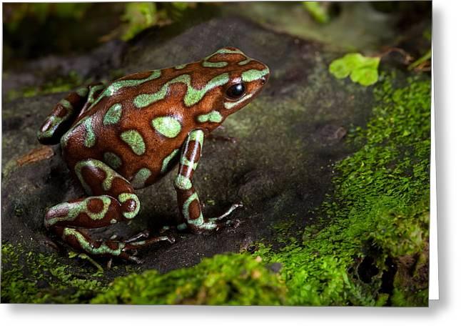 Arrow-leaf Greeting Cards - Poison Dart Frog On Leaf Greeting Card by Dirk Ercken