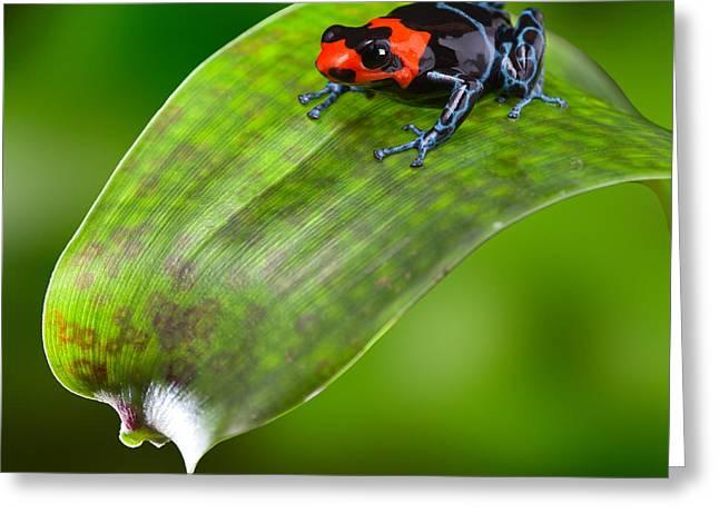 Arrow-leaf Greeting Cards - poison dart frog Peru Greeting Card by Dirk Ercken