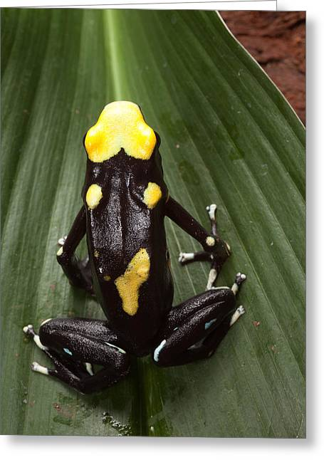 Guyana Greeting Cards - Poison Frog Greeting Card by Dirk Ercken