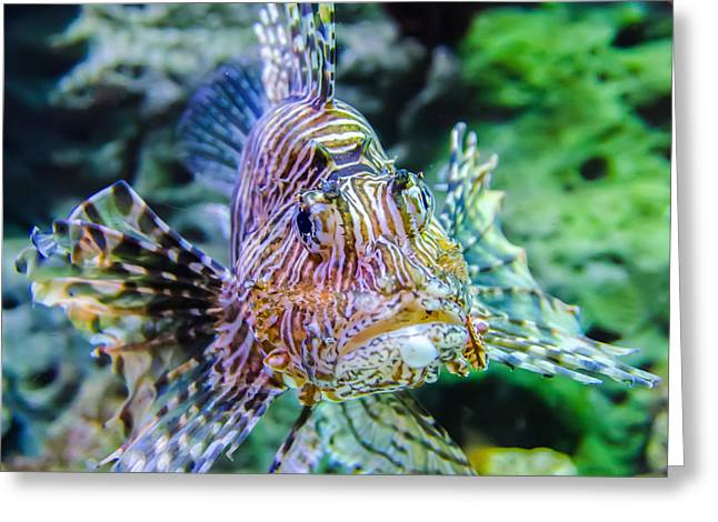 Panoramic Ocean Greeting Cards - Poisonous Exotic Zebra Striped Lion Fish  Greeting Card by Alexandr Grichenko
