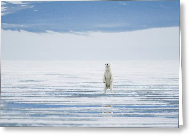 Polar Bear Standing Greeting Cards - Polar Bear Adult Stands Upright On Hind Greeting Card by Steven Kazlowski