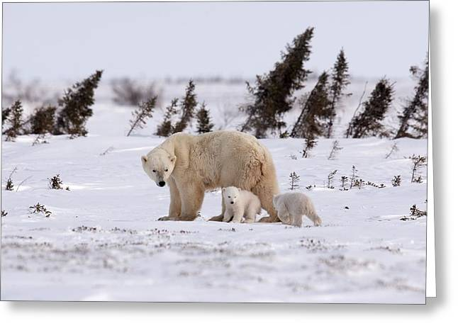 Ursus Maritimus Greeting Cards - Polar bear mother and cubs Greeting Card by Science Photo Library