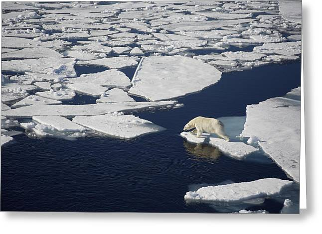 Mile One Greeting Cards - Polar Bear On Melting Sea Ice, High Greeting Card by Paul Miles