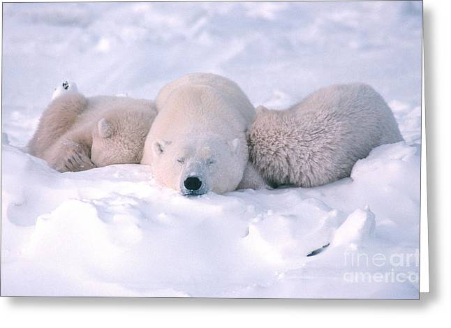 Sleeping Baby Animal Greeting Cards - Polar Bear Sow And Two Cubs Sleeping Greeting Card by Ted Kerasote