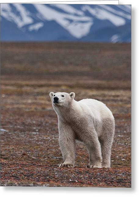 Norge Greeting Cards - Polar Bear, Spitsbergen Island Greeting Card by Panoramic Images