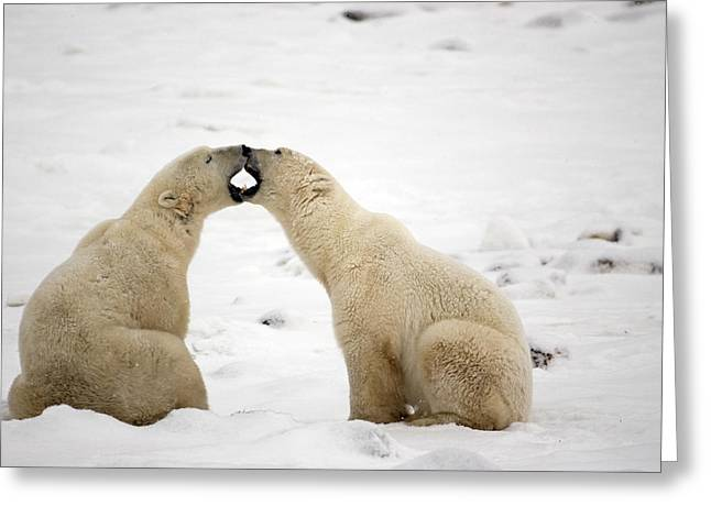 Snowy Day Greeting Cards - Polar Bears Play Fighting At Churchill Greeting Card by Tom Soucek