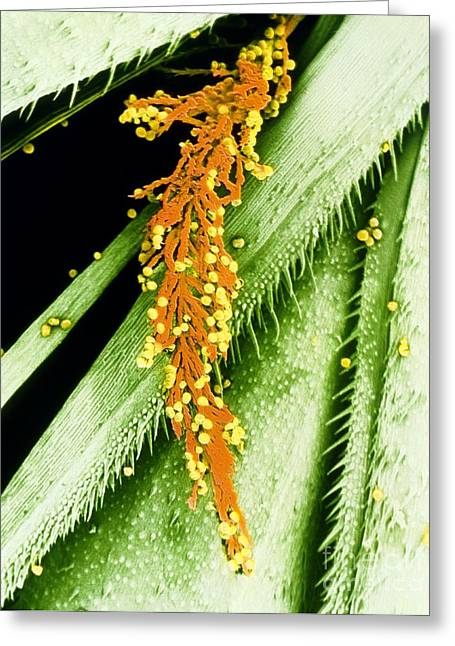 Allergic Greeting Cards - Pollen On Stigma Of Cocksfoot Grass Greeting Card by Dr Jeremy Burgess
