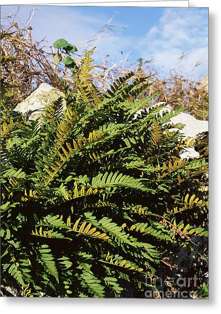 Kingston Greeting Cards - Polypody Fern Polypodium Vulgare Greeting Card by Adrian T Sumner
