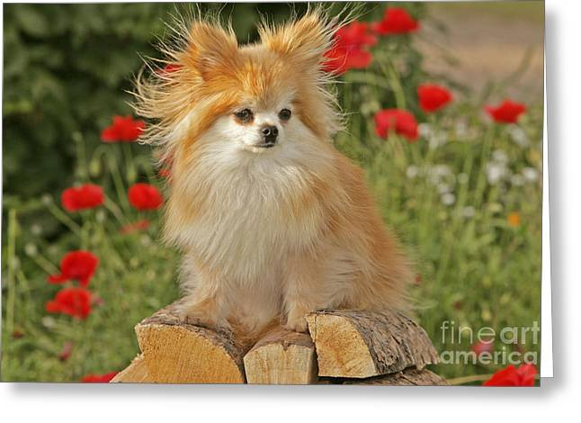 Toy Dog Greeting Cards - Pomeranian Dog Greeting Card by Rolf Kopfle