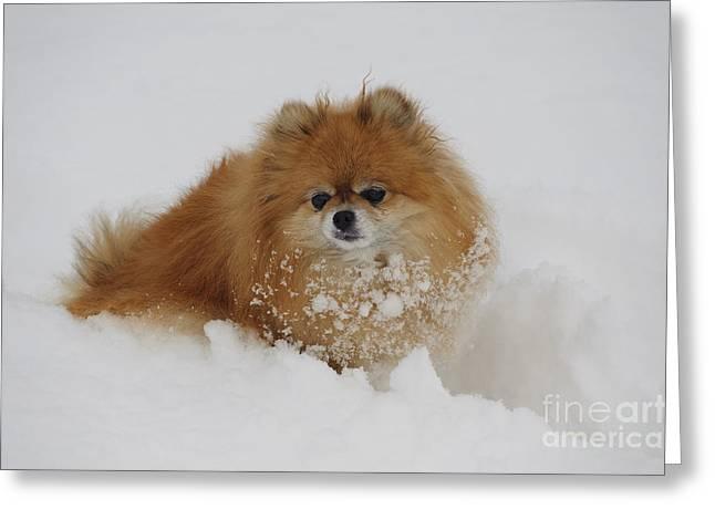 Pomeranian In Snow Greeting Card by John Shaw