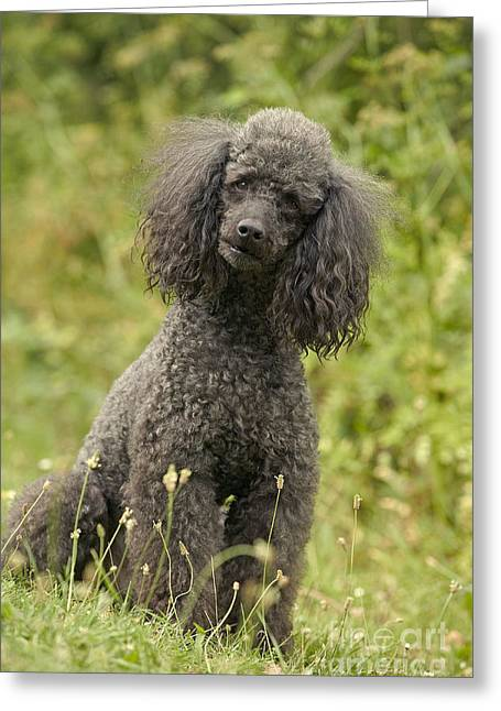Gray Hair Greeting Cards - Poodle Dog Greeting Card by Jean-Michel Labat