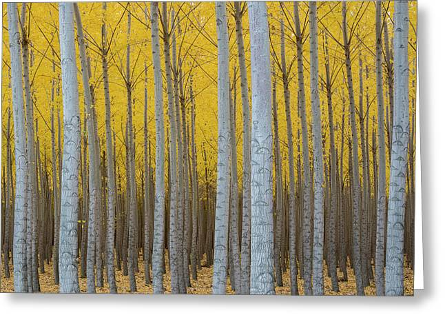 Poplar Plantation In Autumn Greeting Card by Panoramic Images