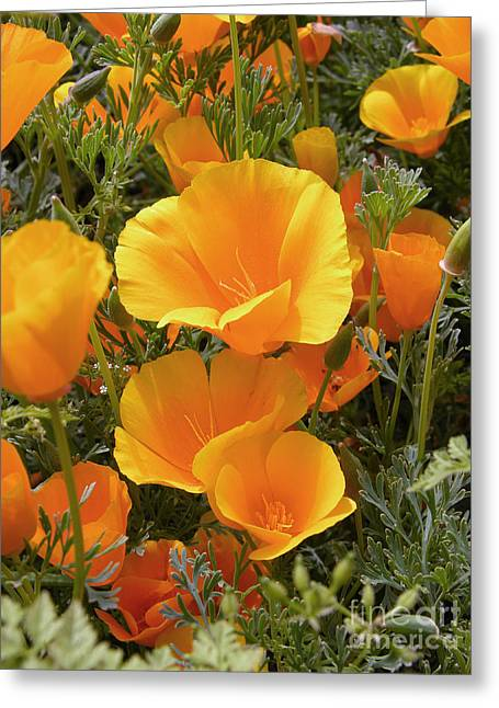 Point Lobos Greeting Cards - Poppies Eschscholzia Californica Greeting Card by Tony Craddock