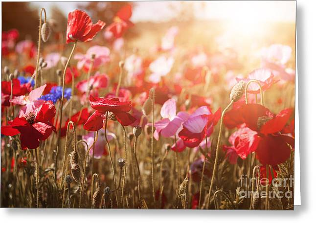 Sunflare Greeting Cards - Poppies in sunshine Greeting Card by Elena Elisseeva