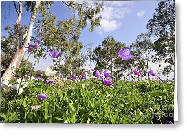 Anemone Coronaria Greeting Cards - Poppy Anemones Anemone Coronaria Greeting Card by PhotoStock-Israel
