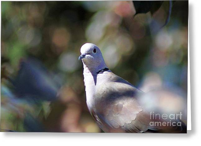 Birds Greeting Cards - Portrait of a Dove Greeting Card by Mrsroadrunner Photography