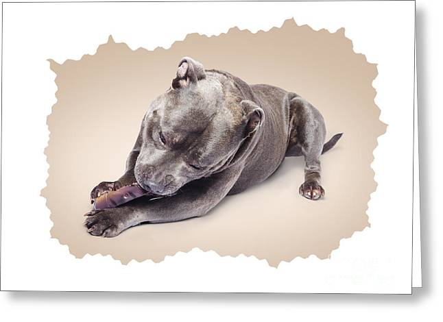 Gnawing Greeting Cards - Portrait of a purebred blue staffie Greeting Card by Ryan Jorgensen