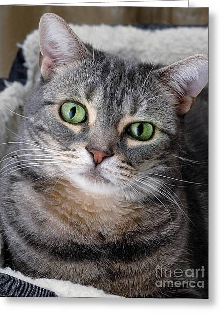 Eye Greeting Cards - Portrait of an Ameriican Shorthair Cat Greeting Card by Amy Cicconi