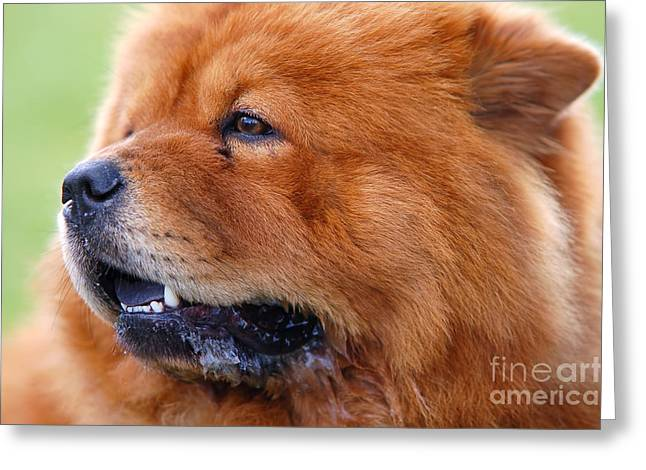 License Portrait Greeting Cards - Portrait of Chow Chow Dog Greeting Card by Michal Bednarek