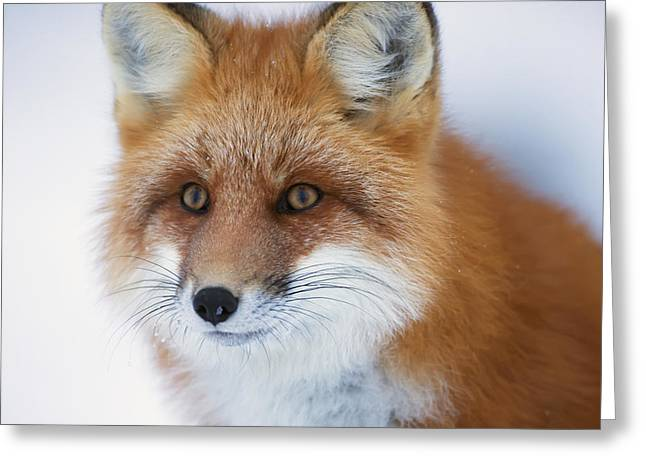Cover The Face Greeting Cards - Portrait Of Red Foxchurchill Manitoba Greeting Card by Robert Postma