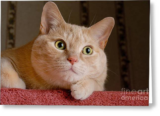 Paws Greeting Cards - Portrait Orange Tabby Cat Greeting Card by Amy Cicconi