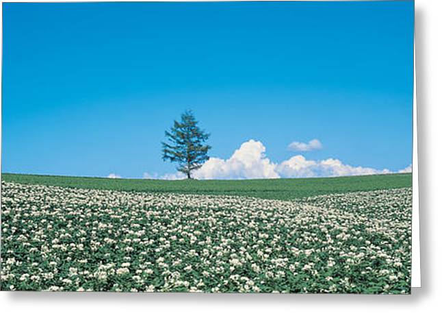 Cultivation Greeting Cards - Potato Field Biei-cho Hokkaido Japan Greeting Card by Panoramic Images