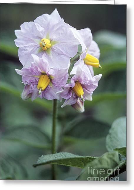 Charlotte Greeting Cards - Potato Solanum Tuberosum Charlotte Greeting Card by Maxine Adcock
