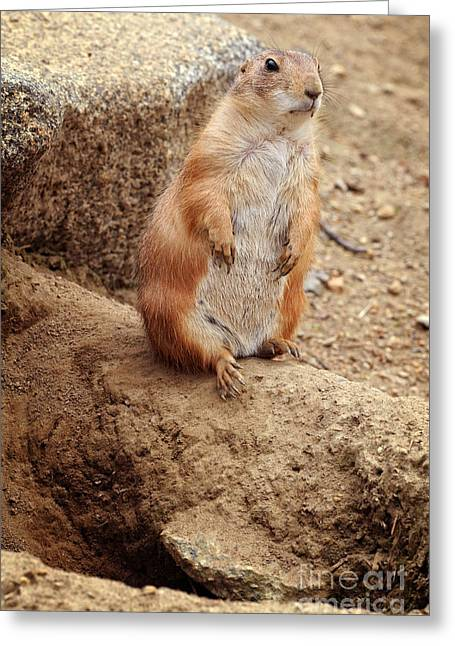 Prairie Dogs Greeting Cards - Prairie Dogs Greeting Card by HD Connelly