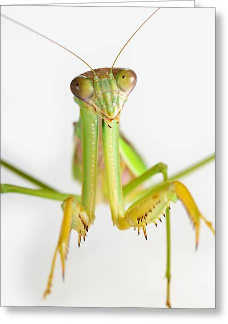 Close To People Greeting Cards - Praying Mantis On White Background St Greeting Card by Corey Hochachka